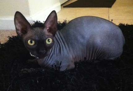 Previous Magical Purr Kitten All Grown Up - Sphynx Cattery