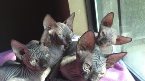 Seal Kittens- Sphynx Hairless cats | Magical Purr Cattery